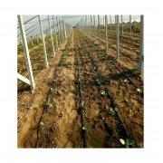 定陶大棚温室蔬菜滴灌滴管长度