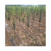 牡丹苗木如何安装滴灌设备比较好